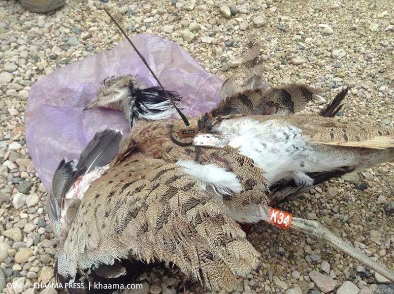 Diese Kragentrappe wurde versehentlich für eine Drohne gehalten   Quelle: