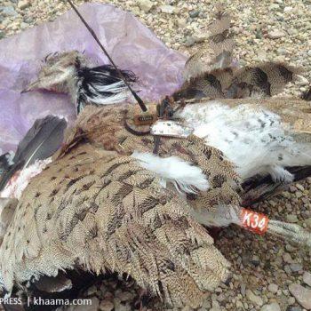 Diese Kragentrappe wurde versehentlich für eine Drohne gehalten | Quelle: