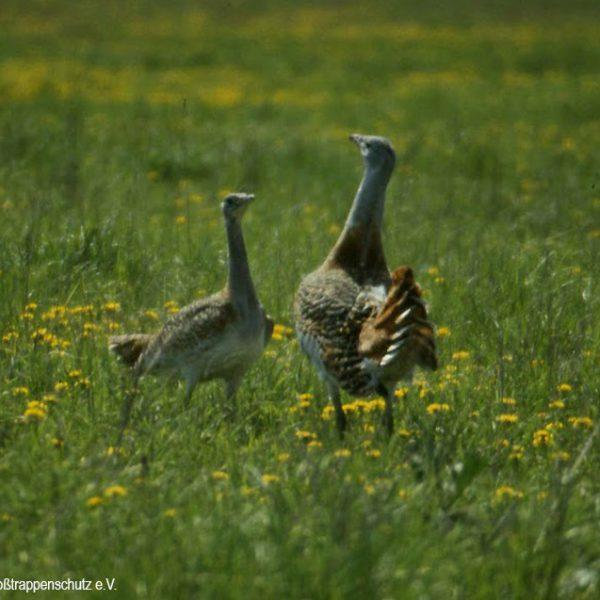 Großtrappen - Der Hahn (rechts) ist bedeutend größer als die Henne