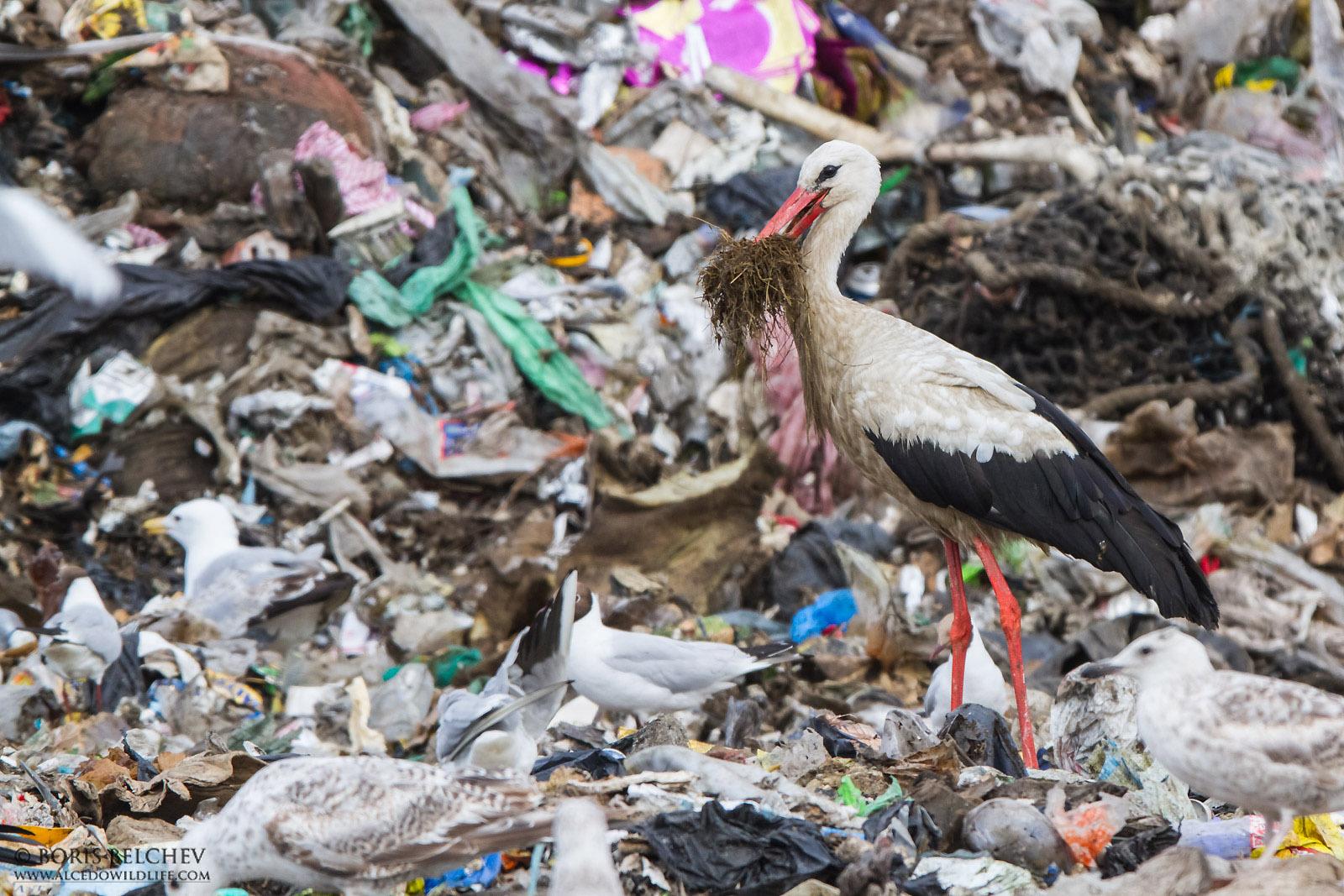 Weißstorch auf Müllseponie | Quelle: Boris Belchev -