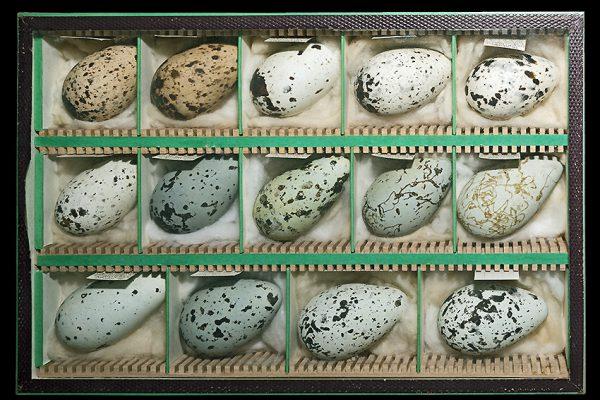 Eier der Trottellumme | Quelle: