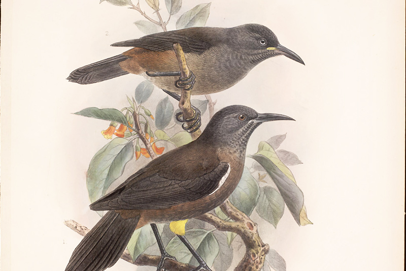 "Kauaʻi ʻŌʻō - Schuppenkehlmoho | Quelle: Smithsonian Libraries Walter Rothschild ""The Avifauna of Laysan"""