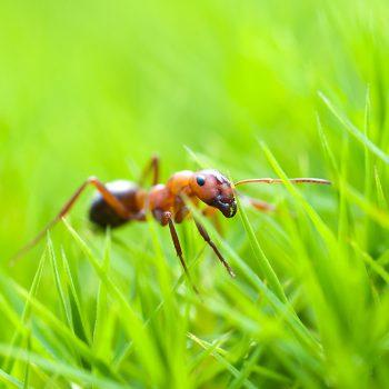 Waldameise. Eine hochgradig bedrohte Ameisenart | FLICKR Autor Jukka / Unter CC 2.0 Lizenz