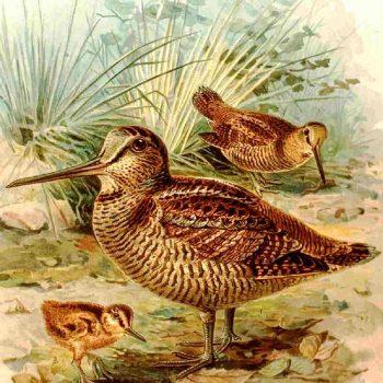 Waldschnepfe (Scolopax rusticola)| Johann Friedrich Naumann - Naturgeschichte der Vögel Mitteleuropas