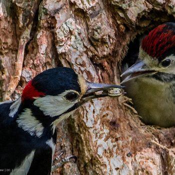 Buntspecht füttert Jungvogel | Quelle FLICKR  Andy Morffew; CC 2.0 Lizenz