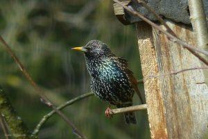 Stare gehören zu unseren häufigsten Vögeln | Quelle: Pixabay.com