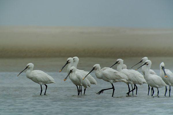 Löffler im Wattenmeer
