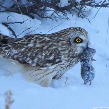 Schnee ist kein Problem | Bildquelle: Flickr / USFWS Mountain-Prairie - CC. 20 Lizenz unverändert