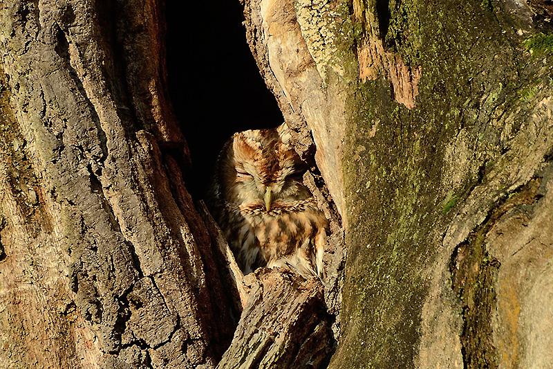 Auf Friedhöfen mit altem Baumbestand fühlt sich der Waldkauz wohl. Wenn genügend Höhlen in den Bäumen oder spezielle Nistkästen vorhanden sind.